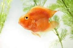 De Gouden Vissen van het aquarium Royalty-vrije Stock Afbeelding