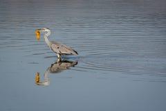 De gouden vissenjager Stock Foto's