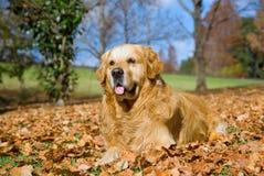 De gouden volwassen hond van gr. van de Retriever in openlucht Royalty-vrije Stock Foto's