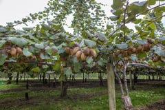 De gouden Vruchten van de Kiwi Royalty-vrije Stock Foto