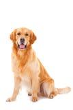 De gouden zitting van de retrieverhond op wit Stock Foto