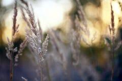 De gouden zonsondergang van het de herfstgras Stock Foto