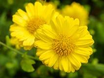 De goudsbloem bloeit dicht omhoog Stock Afbeeldingen