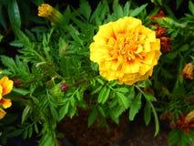 De goudsbloem bloeit geel stock afbeelding