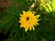 De goudsbloem bloeit geel stock fotografie