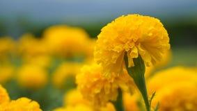 De goudsbloem is een mooie bloem Stock Foto's