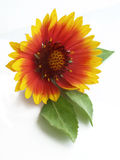De Goudsbloem van de pot (officinalis Calendula) Royalty-vrije Stock Fotografie