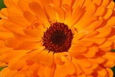 De goudsbloemdetail van de pot stock foto