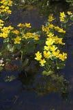 De goudsbloemen van het moeras Royalty-vrije Stock Fotografie