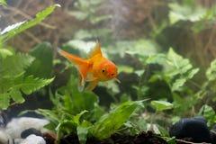 De goudvis van Carassiusauratus achter een waterplant royalty-vrije stock afbeelding