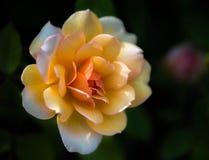 ` de grâce de ` de Rose d'arbuste Images libres de droits