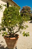 De gröna citronerna som är fullvuxna i landet av Arezzo Arkivfoto