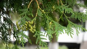De gröna filialerna av vitt cederträ skakar i vinden lager videofilmer