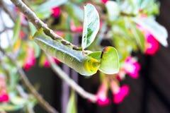 De gröna larverna så äter sidor på en filial Arkivbild