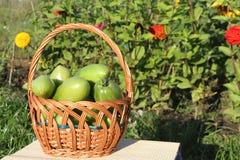 De gröna tomaterna som ligger i en wattled korg i en gar Arkivbilder