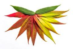 De gradiënt kleurde bladeren in een halve cirkel worden geschikt die Stock Afbeeldingen
