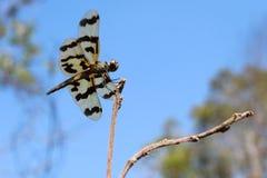 De Grafische Flutterer-Libel rust op een tak op het Noordelijke Grondgebied van Australië Stock Fotografie