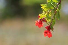 De granaatappelbloemen met bij verzamelen honing royalty-vrije stock afbeeldingen