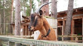 De grappige bruine geit draait zijn hoofd en onderzoekt de camera stock footage