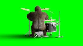De grappige bruine gorilla speelt de trommel Super realistisch bont en haar groene het scherm4k animatie stock footage