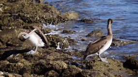 De grappige bruine pelikanen van Galveston Stock Foto