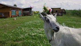 De grappige Geit met een kroon in de hoornen kauwt gras, kijkt in het kader stock video