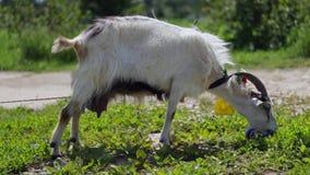De grappige geit weidt op een landbouwbedrijf etend gras, middelgroot schot stock footage