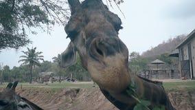 De grappige giraf kauwt dun takje met groene sappige bladeren stock videobeelden