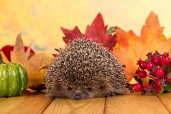 De grappige grijze stekelige egel zit op lijst, tegen achtergrond van de herfstbladeren stock fotografie