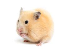 De grappige hamster eet Royalty-vrije Stock Afbeeldingen