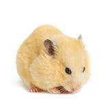 De grappige hamster eet Royalty-vrije Stock Foto's