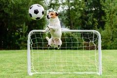 De grappige hond die in het amuseren vliegen stelt het vangen van de bal van het voetbalvoetbal en het bewaren van doel Stock Foto's
