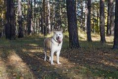 De grappige hond Japanse Akita Inu bevindt zich in het hout met zijn tong die uit onder de bomen en de gevallen bladeren in de he Royalty-vrije Stock Foto's