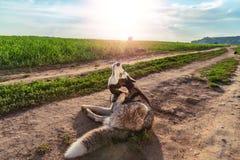 De grappige hond krast zijn oor De schor hond rekt belachelijk hals uit om oor met zijn poot te kammen Concept het jeuken in oor stock foto