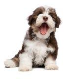 De grappige hond van het geeuw chocholate havanese puppy Stock Afbeeldingen