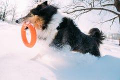 De grappige Jonge Herdershond van Shetland, Sheltie, Collie Playing With Ring Toy Openlucht in Sneeuwpark, Wintertijd Speels huis royalty-vrije stock foto's