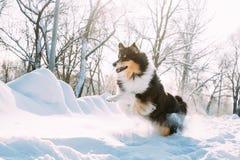 De grappige Jonge Herdershond van Shetland, Sheltie, het Sneeuwpark van Collie Fast Running Outdoor In Speels Huisdier in de Wint royalty-vrije stock foto's