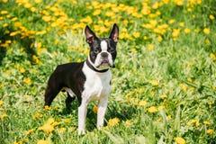 De grappige Jonge Hond van Boston Bull terrier Openlucht in Groene de Lenteweide stock afbeeldingen