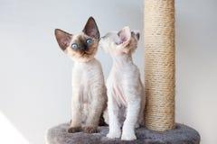 De grappige katjes van Devon rex op de krassende post Stock Foto