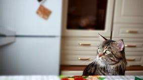 De grappige mooie Grappige Maine-zwarte gekleurde gestreepte kat van de wasbeerkat zit bij de lijst en bekijkt venster 1920x1080 stock videobeelden