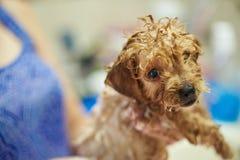 De grappige natte hond van het poedelpuppy Stock Foto