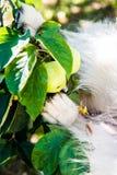 De grappige pluizige witte poten van de herdershond buiten stock foto