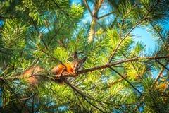 De grappige rode eekhoornzitting op een tak in het Park en eet een noot Royalty-vrije Stock Foto