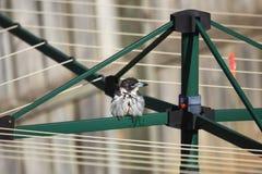 Natte vogel op klerendroger Stock Afbeelding
