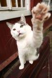 De grappige speelrek van de foto Siberische kat handtastelijk wordt uit Royalty-vrije Stock Foto's