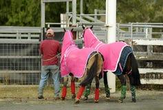 De grappige trainer status met twee paarden klaar voor land toont ring stock foto