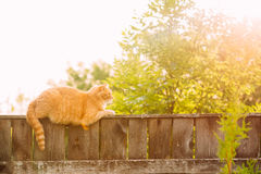 De grappige Vette Rode Cat Sitting On Fence In-Zomer Sunny Day Royalty-vrije Stock Foto