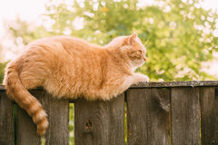 De grappige Vette Rode Cat Sitting On Fence In-Zomer Sunny Day Royalty-vrije Stock Foto's