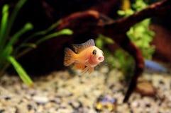 De grappige vissen zingen het lied Stock Afbeeldingen