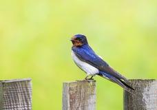 De grappige vogel, boerenzwaluw zit op een oude houten omheining i royalty-vrije stock foto's